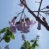 太陽の光を受けて咲く桐の花