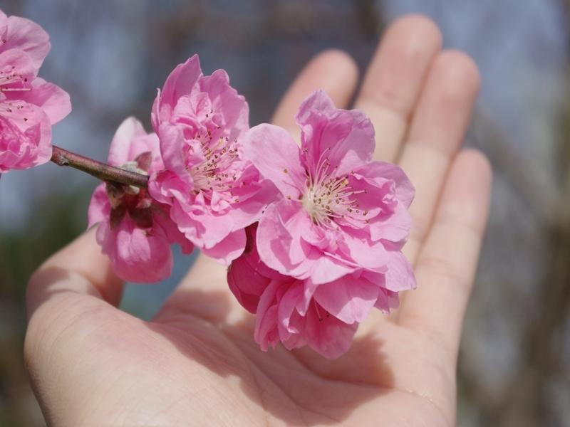 桃の花に手をかざしてみる