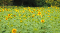 夏の思ひで ~向日葵~