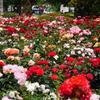 5月の薔薇園('17)
