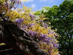 藤が咲き始めました