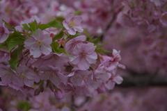 そろそろ葉桜(河津さくら)