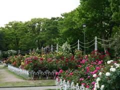 朝の薔薇園