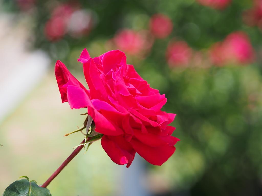 鶴舞公園の薔薇('15)