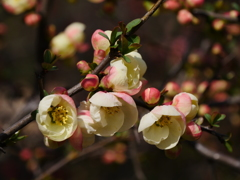 木瓜(ボケ)の花