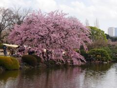 桜を楽しむ