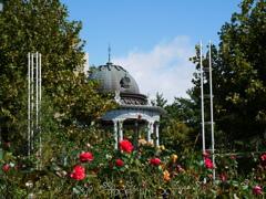 台風一過の薔薇園