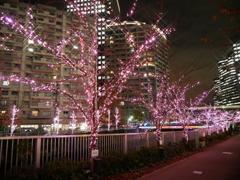 今年も咲いたね、冬の桜