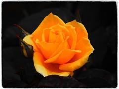 春薔薇('19)