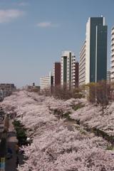 桜アーケード