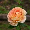 薔薇の季節がやってきました