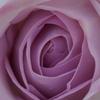淡い紫の薔薇