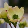 ハナミズキが咲き始めました