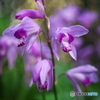 紫のほほえみ