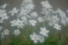 春の星の花