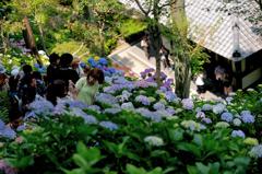 少し高台からの紫陽花