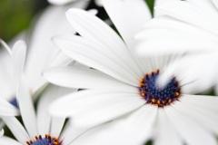 Open white