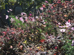 秋桜と穂紫蘇