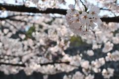 葬春花 ~さくら~ #14