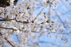 葬春花 ~さくら~ #10