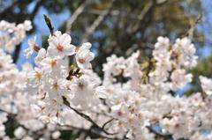 葬春花 ~さくら~ #8