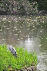 水辺に鷺 #1