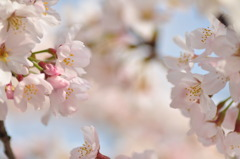 葬春花 ~さくら~ #4