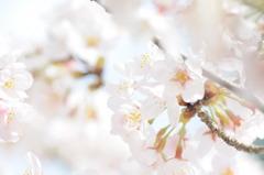 葬春花 ~さくら~ #3