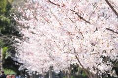 葬春花 ~さくら~ #7