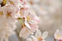 葬春花 ~さくら~ #5