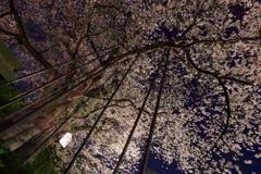 夜のお達磨_1