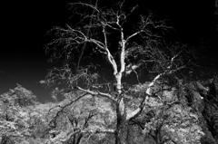 old tree2