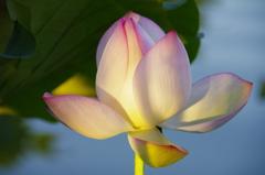 morning sun beamed into lotus flower