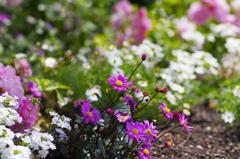 vsattui flower