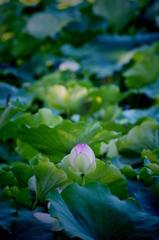 single lotus
