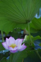 lotus flower and leaf