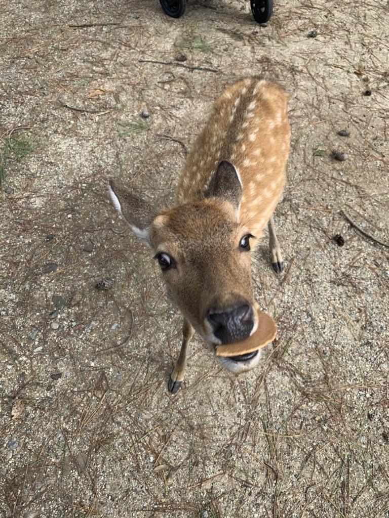 奈良の鹿さん①