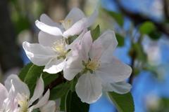 Apple Blossom Brunswick May 2015