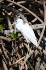 Little Blue Heron No3 I 2-10-21