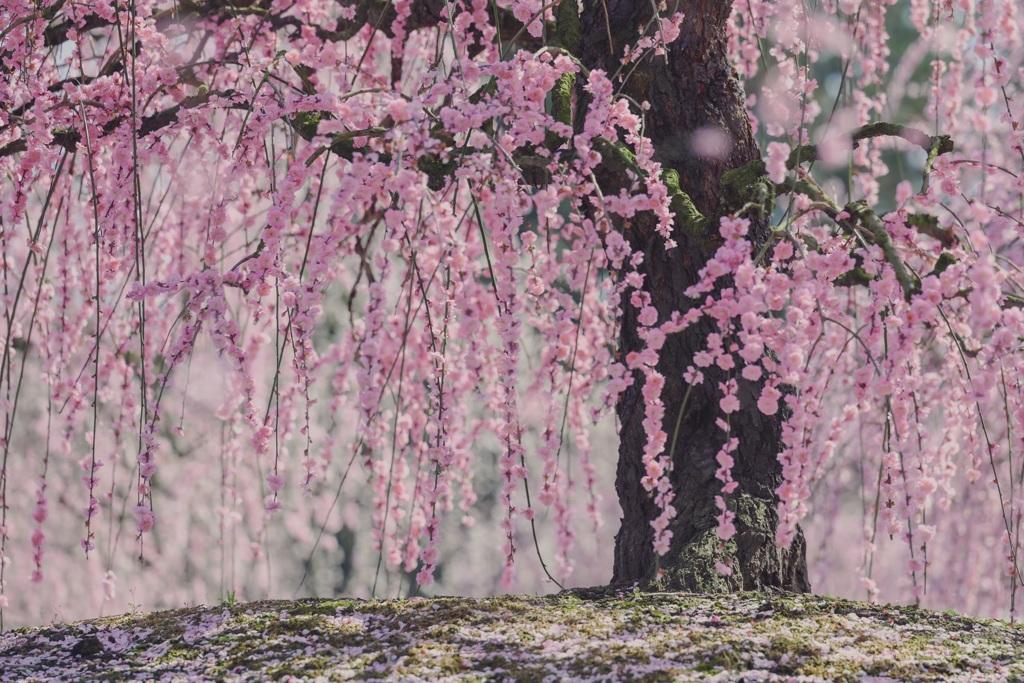 梅花の絨毯