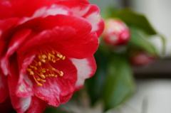 斑入りの山茶花