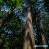 (立派な杉の木)