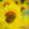 (Sun flower)