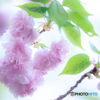 (八重桜咲き満ちて)
