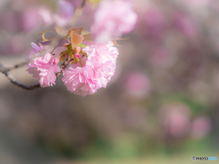 (八重桜)
