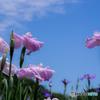 (Iris ensata)