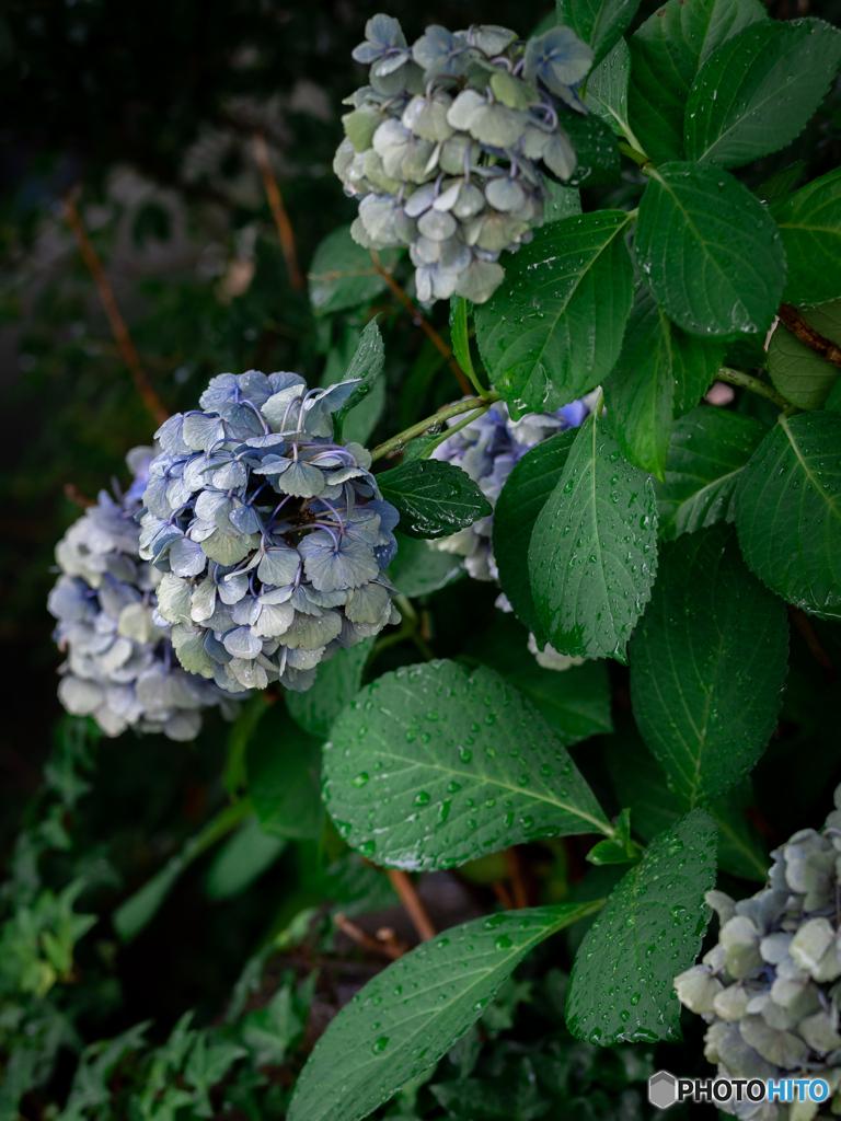 (庭の紫陽花)