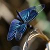 チョウトンボ 魅せる翅
