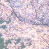 コロナの束の間 桜