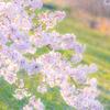 コロナの束の間 桜#2
